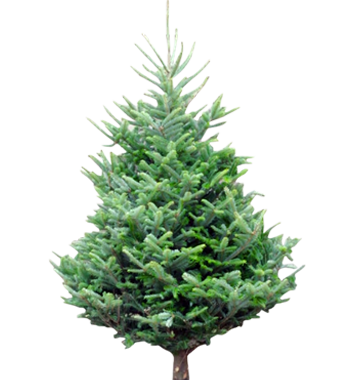 welsh - Christmas Tree Wholesale