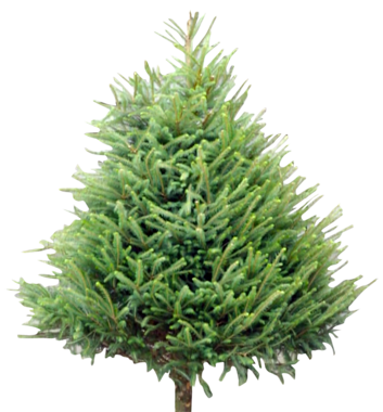 Our Range of Christmas Trees.